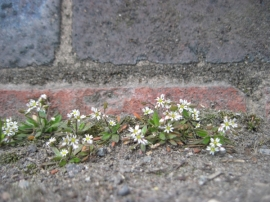 Common Whitlow Grass