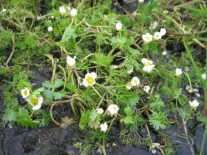 Common Water-crowfoot