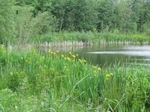 Yellow Flags - Stonebridge Pool, Sence Valley
