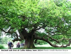 Calke ancient oak tree IMG_3160
