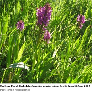 Southern marsh orchid orchid wood 5 june 2014