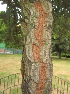 The cork oak