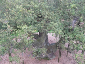 Birds eye view of major oak 130914 IMG_8232