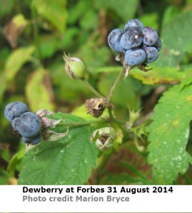 Forbes dewberry IMG_7991