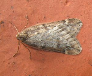 March moth 280314 IMG_0294a