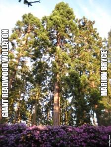 redwoodmeme