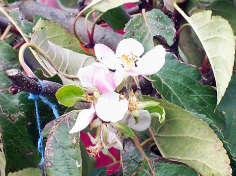 Apple blossom image