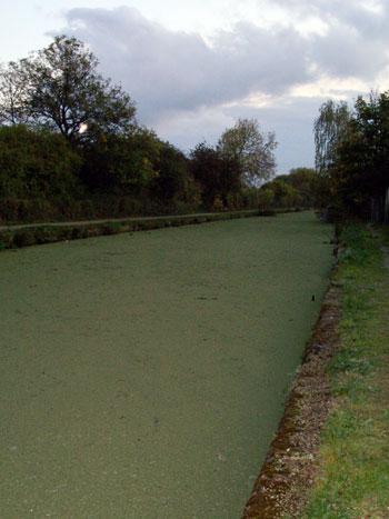 Azolla on Erewash Canal
