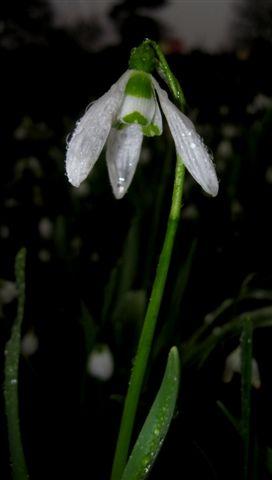 snowdrop - Galanthus elwesii image