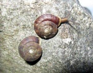 Lapidary snail image