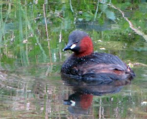 Little Grebe image