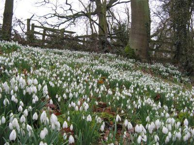Snowdrops at Elvaston image