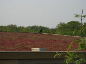 Sedum on roof