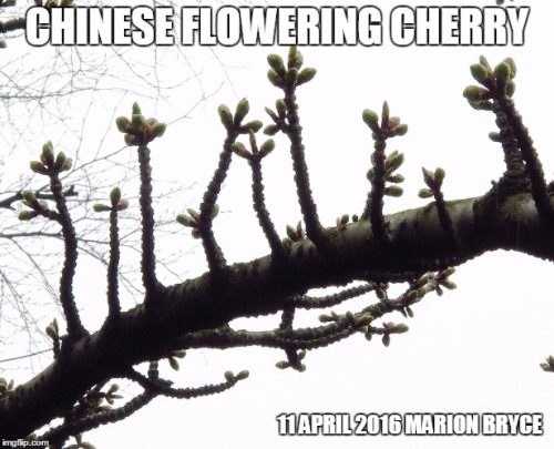 meme Chinese Flowering Cherry Prunus serrulata 'Alboplena'12du7s
