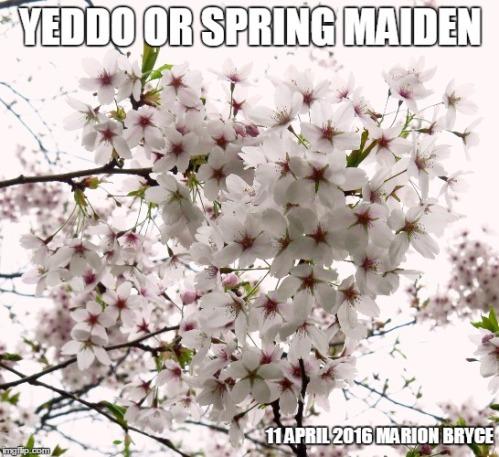 meme yeddo spring maiden