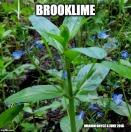 Brooklime meme