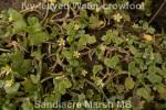 Ivy leaved crowfoot 100518 Sandiacre Marsh_2018 05 11_6176