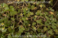 Ivy leaved crowfoot 100518 Sandiacre Marsh_2018 05 11_6176