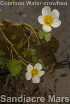 Ranunculus aquatilis Sandiacre Marsh_2018 05 11_6273_edited-1