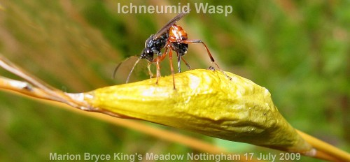 Ichneumonidae Cryptinae Kingsmeadow170709 102 copya