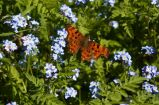 Comma on forget-me-not
