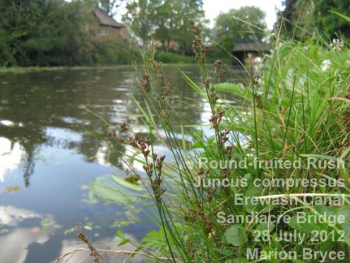 Round-fruited Rush Juncus compressus Erewash Canal Sandiacre Bridge in 2012